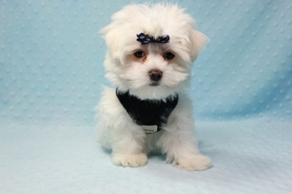 Michael Kors - Teacup Maltese Puppy In L.A Found a new loving Home with Elam From Pomona CA 91768 -11819