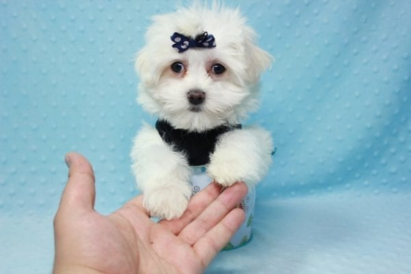 Michael Kors - Teacup Maltese Puppy In L.A Found a new loving Home with Elam From Pomona CA 91768 -11821