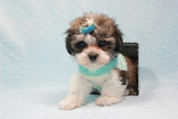 Mike Pence - Small Malshi Puppy has found a good loving home with Nancy from Woodland Hills, CA 91367-11598