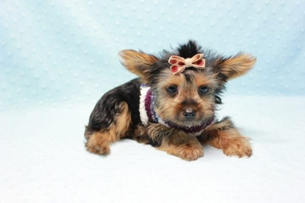 Nemo - Teacup Yorkie Puppy has found a good loving home with JENNIFER FROM OMAHA, NE 68116-11421