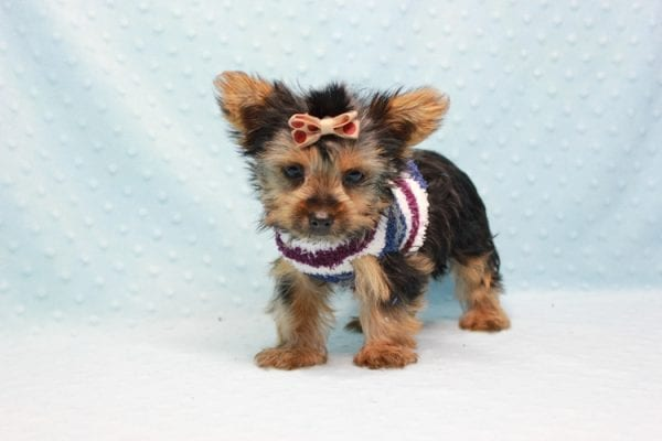 Nemo - Teacup Yorkie Puppy has found a good loving home with JENNIFER FROM OMAHA, NE 68116-11418