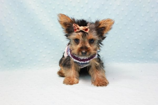 Nemo - Teacup Yorkie Puppy has found a good loving home with JENNIFER FROM OMAHA, NE 68116-11424