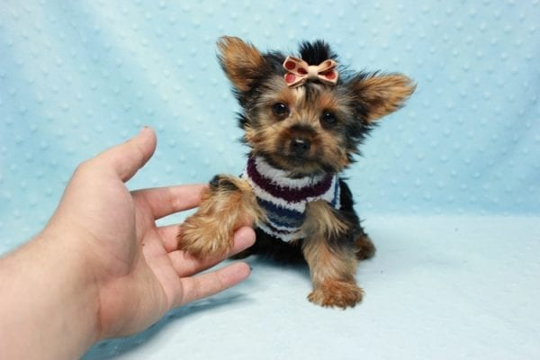 Nemo - Teacup Yorkie Puppy has found a good loving home with JENNIFER FROM OMAHA, NE 68116-11422