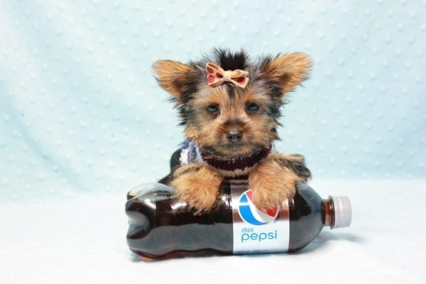 Nemo - Teacup Yorkie Puppy has found a good loving home with JENNIFER FROM OMAHA, NE 68116-11427