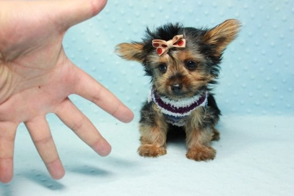 Nemo - Teacup Yorkie Puppy has found a good loving home with JENNIFER FROM OMAHA, NE 68116-11425