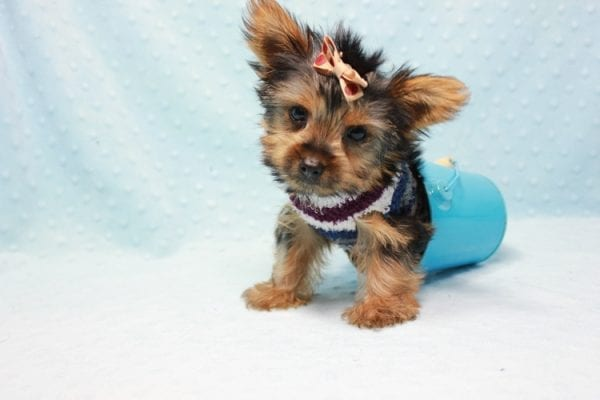 Nemo - Teacup Yorkie Puppy has found a good loving home with JENNIFER FROM OMAHA, NE 68116-0