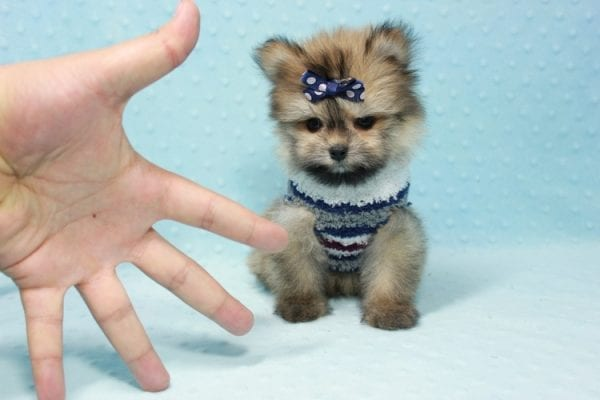 Nougat - Teacup Pomeranian Puppy In L.A Found A New loving home With Navid From Newport Coat CA 92657 -11664