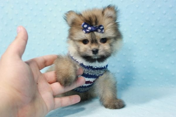 Nougat - Teacup Pomeranian Puppy In L.A Found A New loving home With Navid From Newport Coat CA 92657 -11659