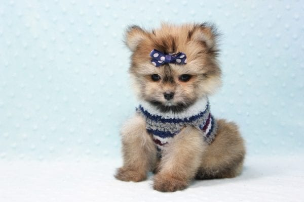 Nougat - Teacup Pomeranian Puppy In L.A Found A New loving home With Navid From Newport Coat CA 92657 -11658