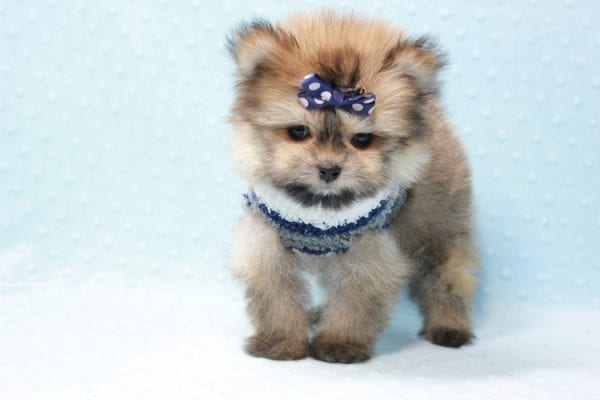 Nougat - Teacup Pomeranian Puppy In L.A Found A New loving home With Navid From Newport Coat CA 92657 -11660