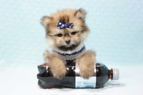 Nougat - Teacup Pomeranian Puppy In L.A Found A New loving home With Navid From Newport Coat CA 92657 -11661