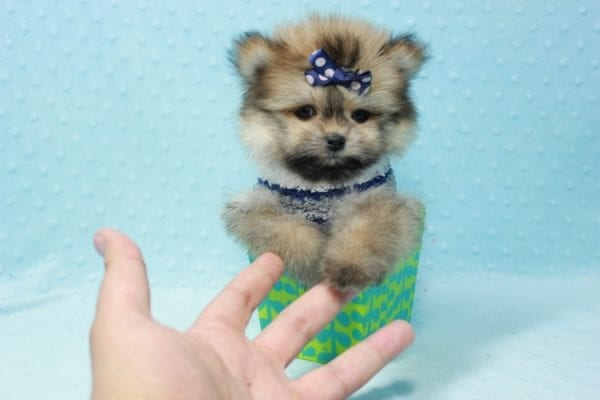 Nougat - Teacup Pomeranian Puppy In L.A Found A New loving home With Navid From Newport Coat CA 92657 -11666