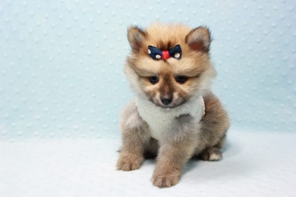 Pokemon - Toy Pomeranian Puppy In L.A Found A New Loving Home -11668