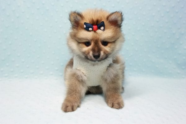 Pokemon - Toy Pomeranian Puppy In L.A Found A New Loving Home -11670