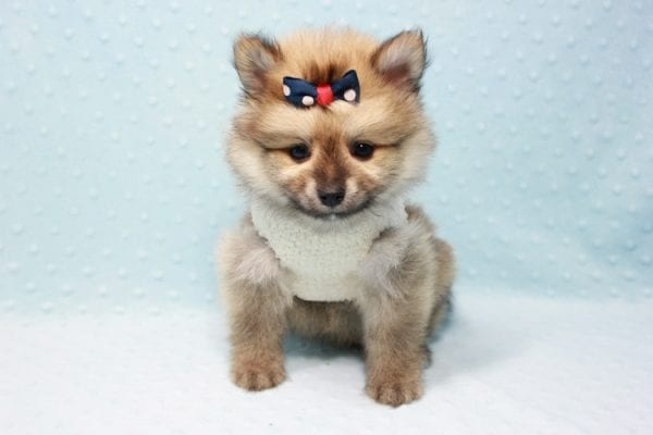 Pokemon - Toy Pomeranian Puppy In L.A Found A New Loving Home -11669