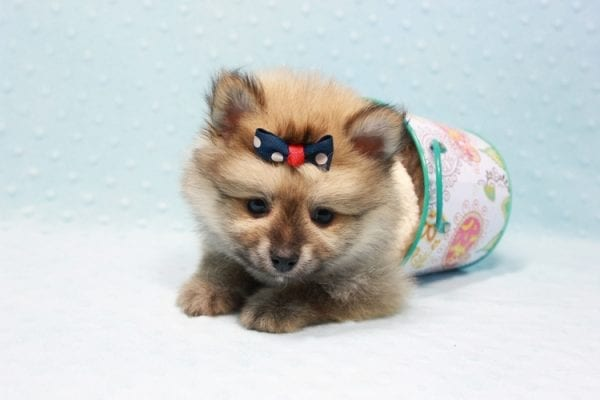 Pokemon - Toy Pomeranian Puppy In L.A Found A New Loving Home -11667