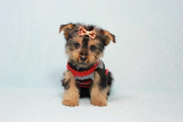 Pops - Toy Yorkie Puppy Found His Loving Home with Nick from Port Hueneme CA-11373