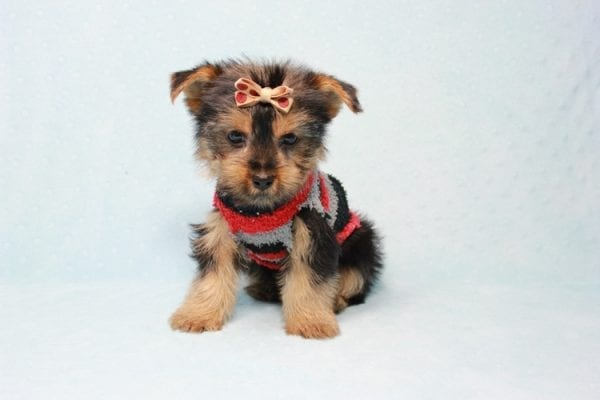 Pops - Toy Yorkie Puppy Found His Loving Home with Nick from Port Hueneme CA-11375