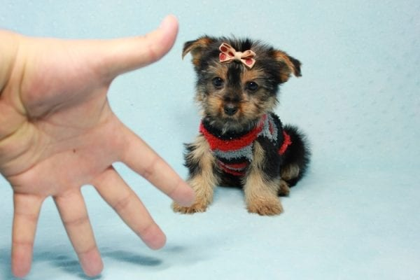 Pops - Toy Yorkie Puppy Found His Loving Home with Nick from Port Hueneme CA-11377