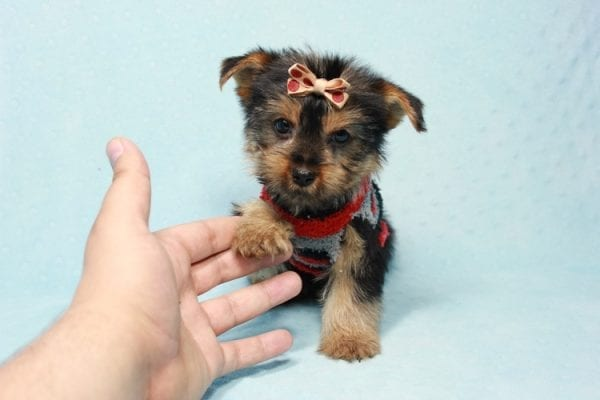 Pops - Toy Yorkie Puppy Found His Loving Home with Nick from Port Hueneme CA-11379