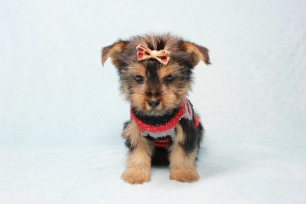 Pops - Toy Yorkie Puppy Found His Loving Home with Nick from Port Hueneme CA-11381