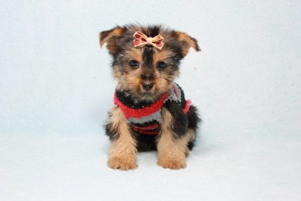 Pops - Toy Yorkie Puppy Found His Loving Home with Nick from Port Hueneme CA-11380