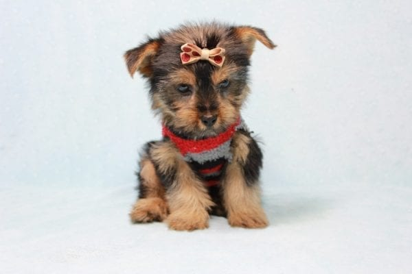 Pops - Toy Yorkie Puppy Found His Loving Home with Nick from Port Hueneme CA-11382