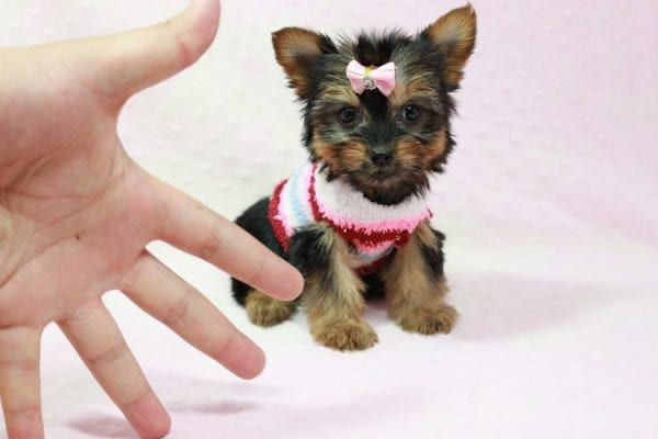 Snow Ball - Teacup Yorkie Puppy in Los Angeles Found A New Loving Home With Gabriela From Sylmar CA 91342-11386