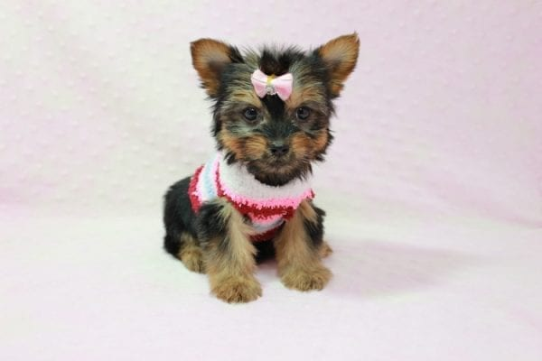 Snow Ball - Teacup Yorkie Puppy in Los Angeles Found A New Loving Home With Gabriela From Sylmar CA 91342-11395