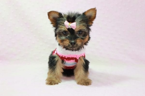Snow Ball - Teacup Yorkie Puppy in Los Angeles Found A New Loving Home With Gabriela From Sylmar CA 91342-11391