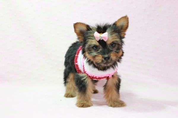 Snow Ball - Teacup Yorkie Puppy in Los Angeles Found A New Loving Home With Gabriela From Sylmar CA 91342-11384