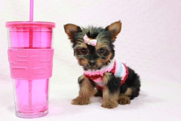 Snow Ball - Teacup Yorkie Puppy in Los Angeles Found A New Loving Home With Gabriela From Sylmar CA 91342-0