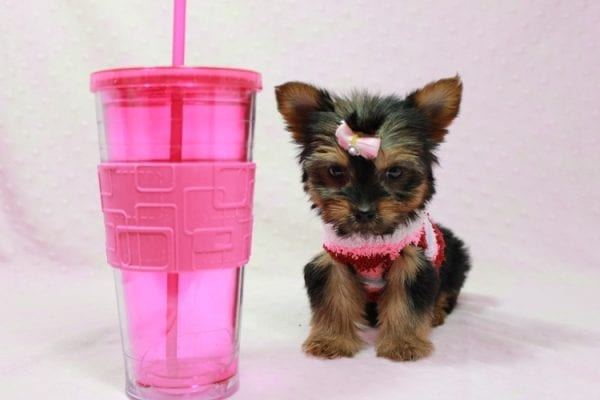 Snow Ball - Teacup Yorkie Puppy in Los Angeles Found A New Loving Home With Gabriela From Sylmar CA 91342-11392