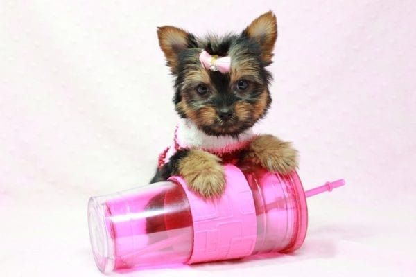 Snow Ball - Teacup Yorkie Puppy in Los Angeles Found A New Loving Home With Gabriela From Sylmar CA 91342-11390