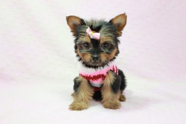 Snow Ball - Teacup Yorkie Puppy in Los Angeles Found A New Loving Home With Gabriela From Sylmar CA 91342-11385