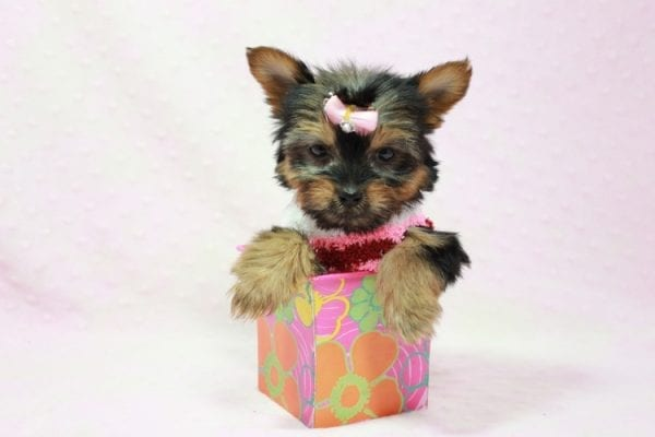Snow Ball - Teacup Yorkie Puppy in Los Angeles Found A New Loving Home With Gabriela From Sylmar CA 91342-11388