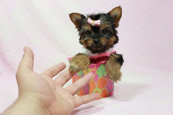Snow Ball - Teacup Yorkie Puppy in Los Angeles Found A New Loving Home With Gabriela From Sylmar CA 91342-11389