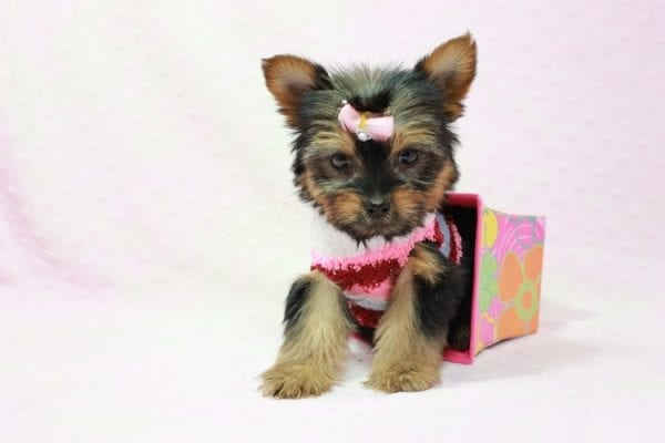 Snow Ball - Teacup Yorkie Puppy in Los Angeles Found A New Loving Home With Gabriela From Sylmar CA 91342-11394