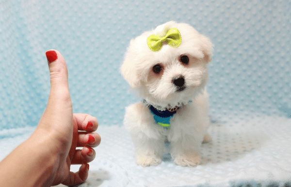Snowball - Teacup Maltese Puppy has found a good loving home with Hassan from Los Angeles, CA 90025-11806