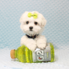 Snowball - Teacup Maltese Puppy has found a good loving home with Hassan from Los Angeles, CA 90025-11811