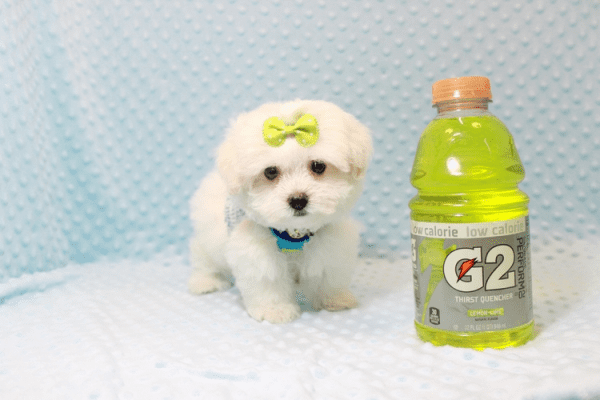 Snowball - Teacup Maltese Puppy has found a good loving home with Hassan from Los Angeles, CA 90025-0