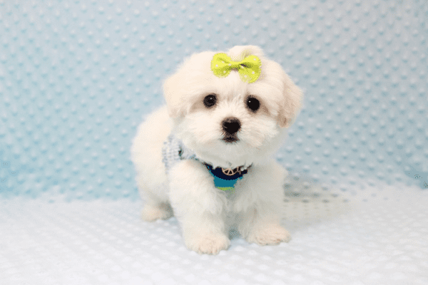 Snowball - Teacup Maltese Puppy has found a good loving home with Hassan from Los Angeles, CA 90025-11808