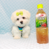 Snowball - Teacup Maltese Puppy has found a good loving home with Hassan from Los Angeles, CA 90025-11804