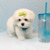 Snowball - Teacup Maltese Puppy has found a good loving home with Hassan from Los Angeles, CA 90025-11807