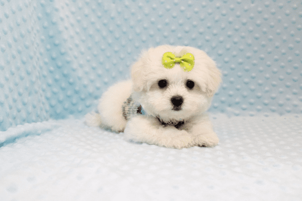Snowball - Teacup Maltese Puppy has found a good loving home with Hassan from Los Angeles, CA 90025-11810