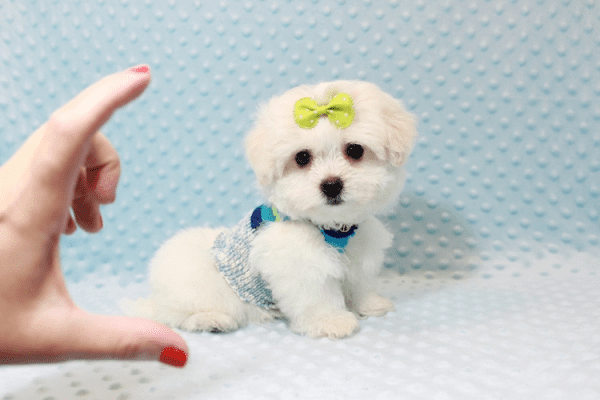 Snowball - Teacup Maltese Puppy has found a good loving home with Hassan from Los Angeles, CA 90025-11803
