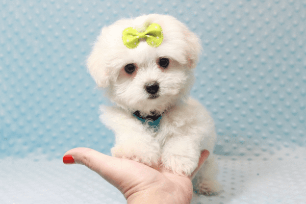 Snowball - Teacup Maltese Puppy has found a good loving home with Hassan from Los Angeles, CA 90025-11812