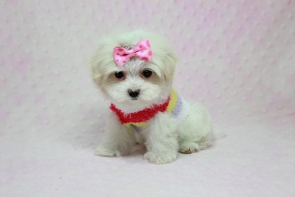 Snowball - Teacup Maltese Puppy In L.A Found A New Loving Home With George From Sun land CA 91040-11765