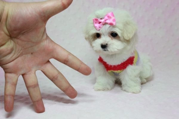 Snowball - Teacup Maltese Puppy In L.A Found A New Loving Home With George From Sun land CA 91040-11762