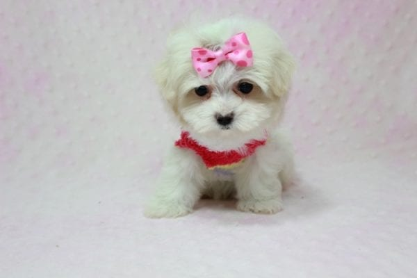 Snowball - Teacup Maltese Puppy In L.A Found A New Loving Home With George From Sun land CA 91040-11759